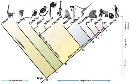 An image depicting the phylogenetic tree of primates, going from lemurs to modern day humans.